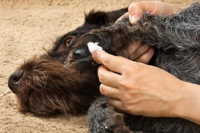 肉球にクリームを塗られている犬