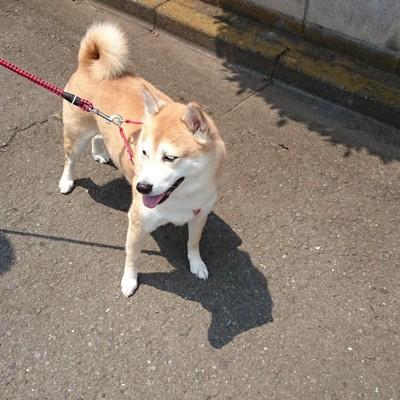 コンクリートの上を散歩する柴犬