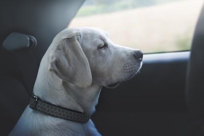 車の乗る犬