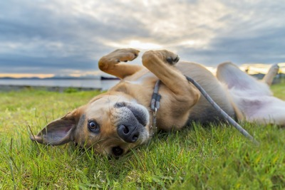 草むらの上に転がっている犬