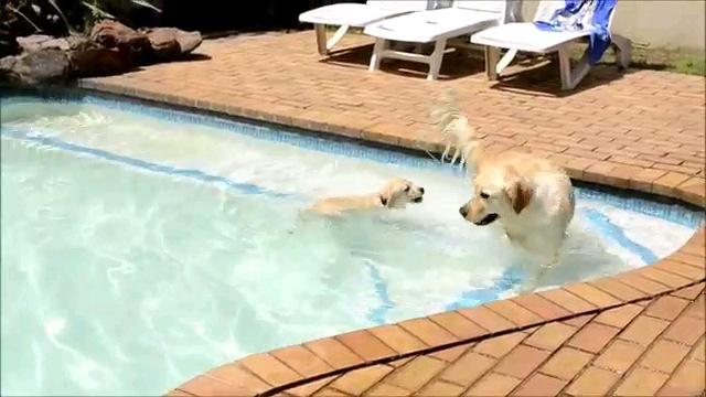 泳ぐ子犬と犬