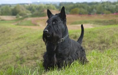 尻尾をピンと立てた黒い犬