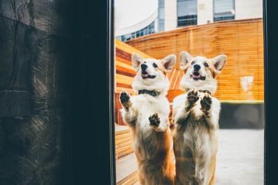 窓ガラスに両手を置いて立つ二頭のコーギー
