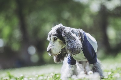 シロツメクサを見つめる犬