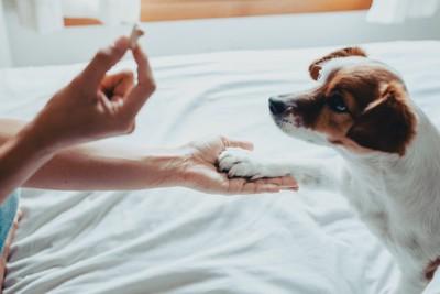 飼い主の持つおやつを見てお手をする犬