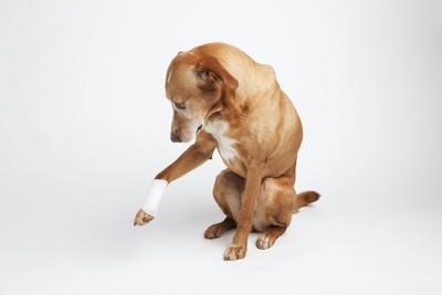 右手に包帯を巻いた犬