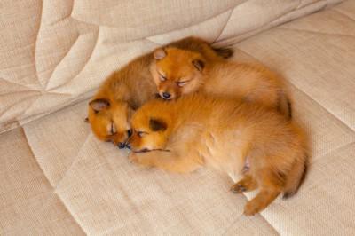 フィニッシュスピッツの子犬たち