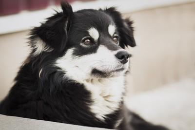 まろ眉毛風の黒白犬