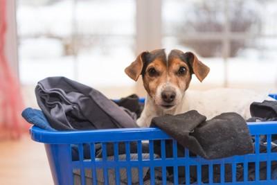 洗濯かごに洗濯物と入る犬