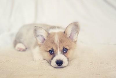 カーペットの上で上目遣いをするコーギーの子犬