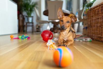 たくさんのおもちゃと伏せする犬