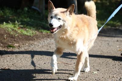 散歩している笑顔の犬