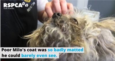 毛が固まった白い犬