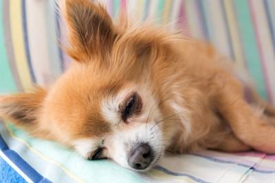 横たわって眠るロングコートチワワ