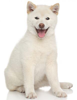 白い毛色の柴犬