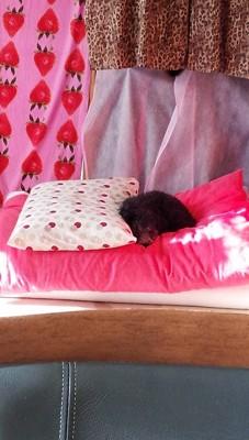 ピンクの布団で寝る犬
