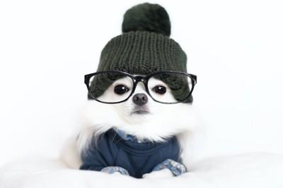 ニット帽・メガネ・服を着用した白いチワワ