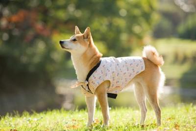 半纏を着た柴犬