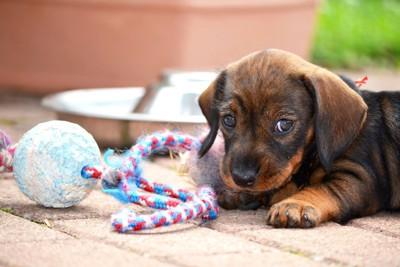 おもちゃとこちらを見つめる子犬