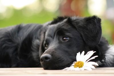 7684356 黒い犬