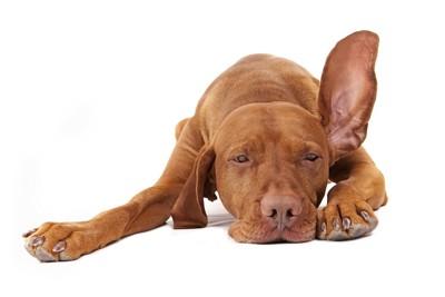 寝ながら耳を立てる犬