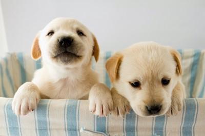 カゴに手を掛ける二頭のラブラドールの子犬