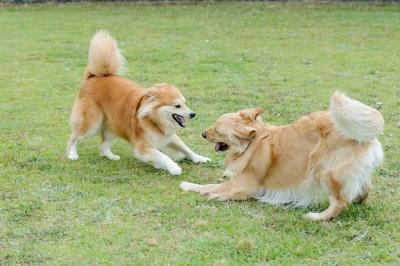 芝生の上で遊びに誘い合う長毛の犬二頭