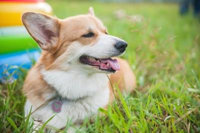 芝生の上で幸せな表情をする犬