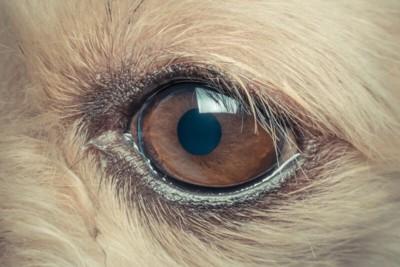 ボーダーコリーの瞳