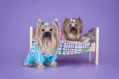パジャマを着た二匹のヨーキー