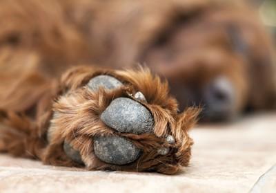 犬の乾燥した肉球