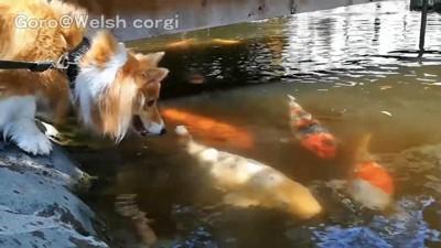 鯉に夢中の犬