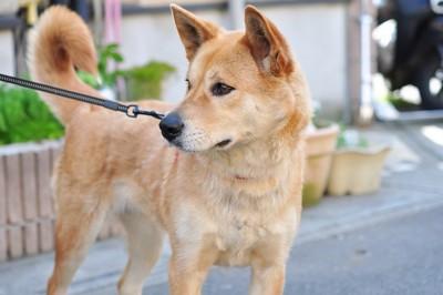 散歩中に立ち止まる柴犬