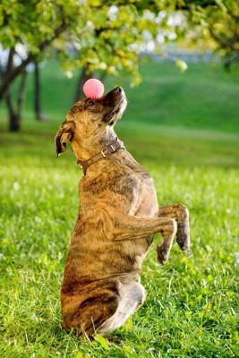 ボールをマズルに乗せている犬