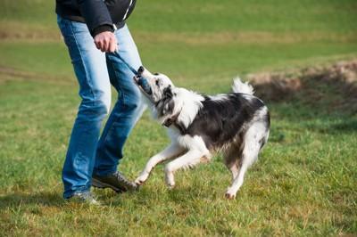 引っ張りっこで遊ぶ白黒の犬