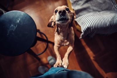 飼い主の足に飛びついて訴える犬