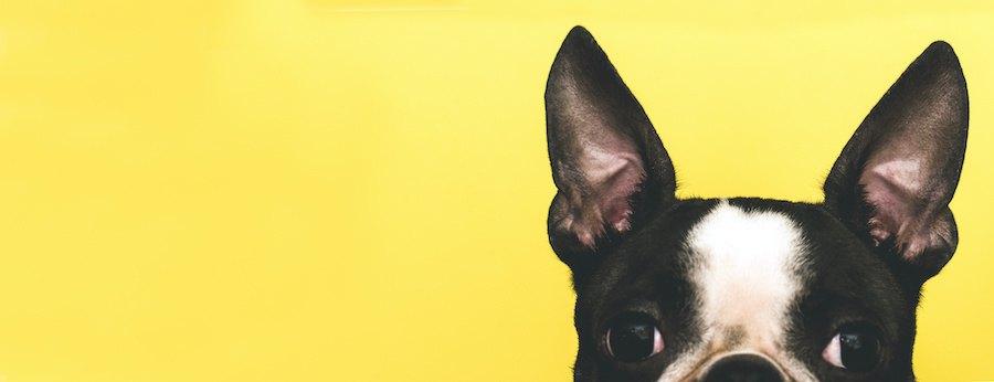 耳を立てるフレンチブルドッグ