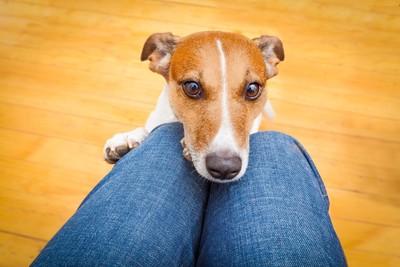 膝にあごを乗せる犬