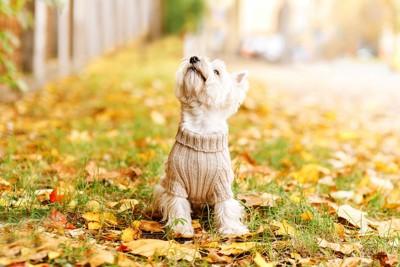 落ち葉の上に座るベージュのニットを着た犬