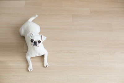 きれいな床に伏せる犬