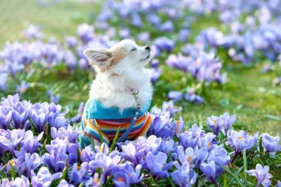 青い花と香りを嗅ぐチワワ