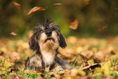落ち葉の中で伏せるカニンヘンダックスフンドの幼犬