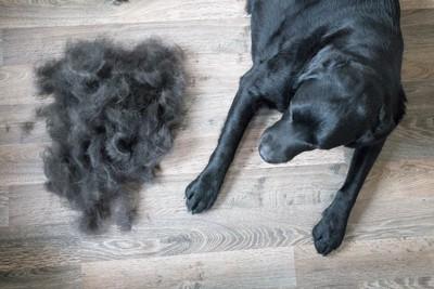 たくさんの抜け毛の横に伏せている犬