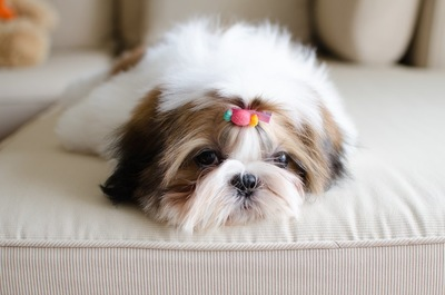 ソファーの上でくつろぐジーズー
