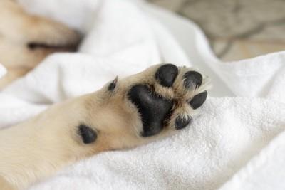 白いタオルに横たわる犬の黒い肉球