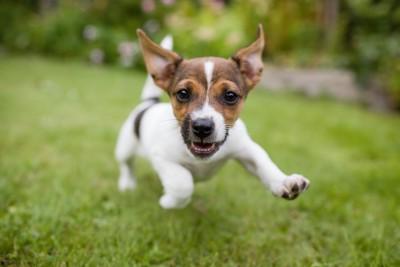 元気よく芝生を走る子犬