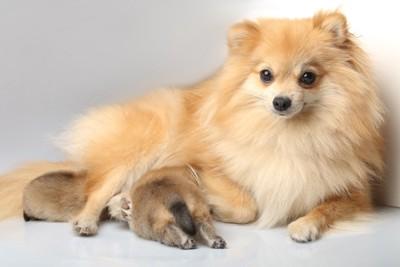 スピッツの母犬と子犬