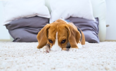 家のカーペットの上でくつろぐ犬