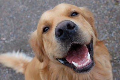 笑顔のゴールデン・レトリーバー