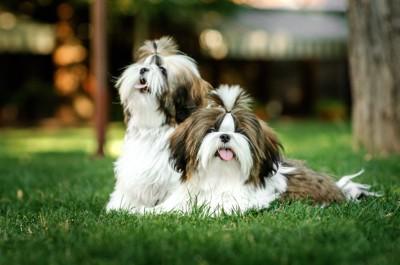 芝生の上で寄り添う2頭のシーズー